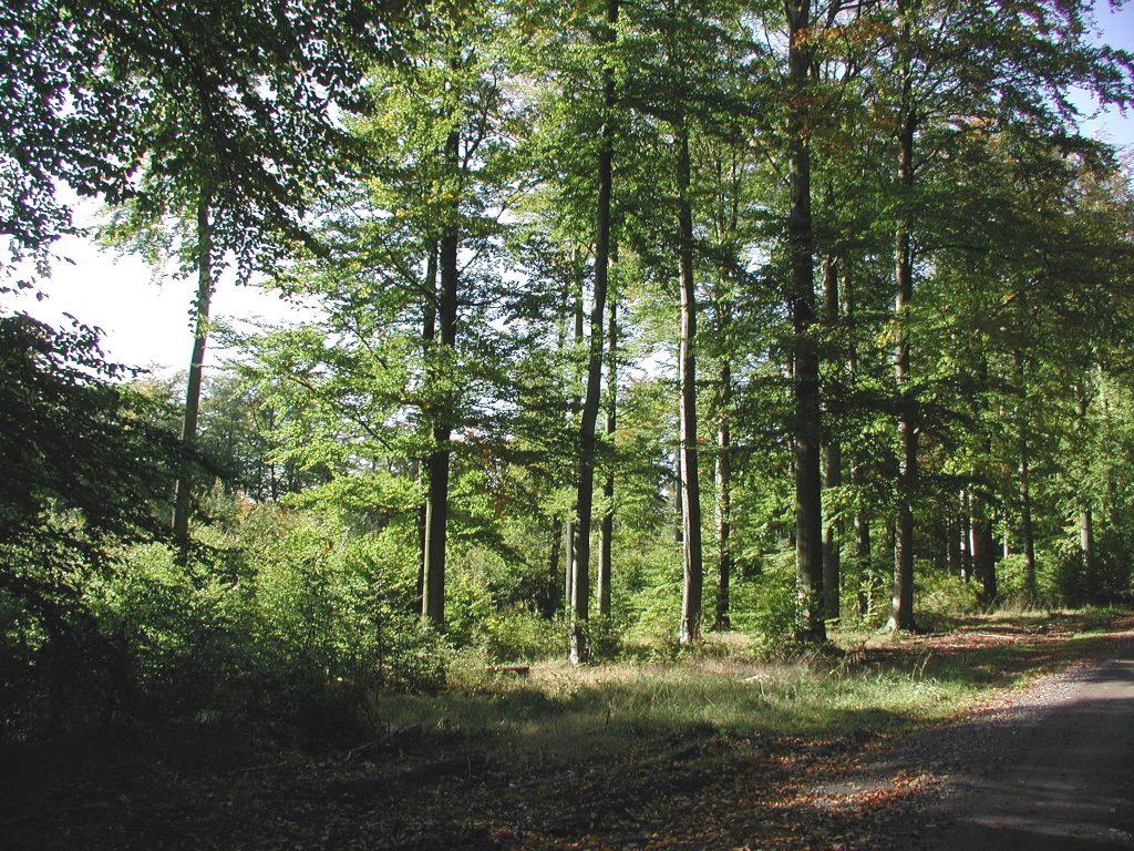 Foto von einem Buchenwald